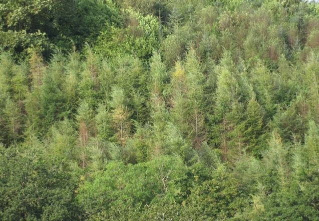 UK dieback of Hemlock, 2011