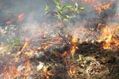Testing prescribed fire for control 1