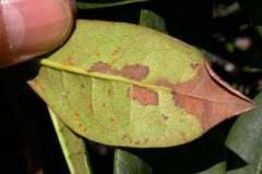 Infected rhododendron