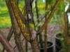 Daphniphyllum glaucescens