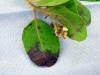 Manzanita (A. columbiana)