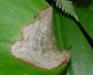 Andrew's clintonia bead lily