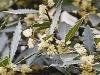 Bay laurel (L. nobilis)