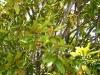 Southern magnolia