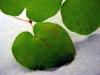 Redwood ivy