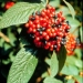 Alleghany viburnum fruiting