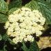 Alleghany viburnum flowering
