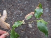 Silk-tassel bush