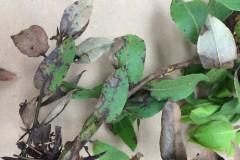 Arctostaphylos virgata foliar symptoms
