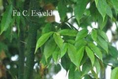 Evergreen maple