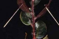 Manzanita (A. manzanita)