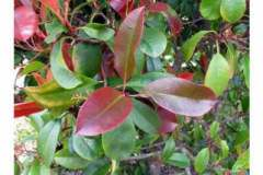 Red tip or Fraser's photinia
