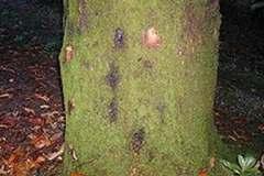 Southern red oak