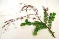 Pacific yew