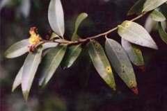 California bay laurel