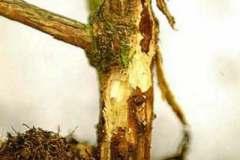 Viburnum - all species, hybrids and cultivars