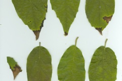 Molinadendron sinaloense