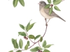 California Coffeeberry with Dark-eyed Junco