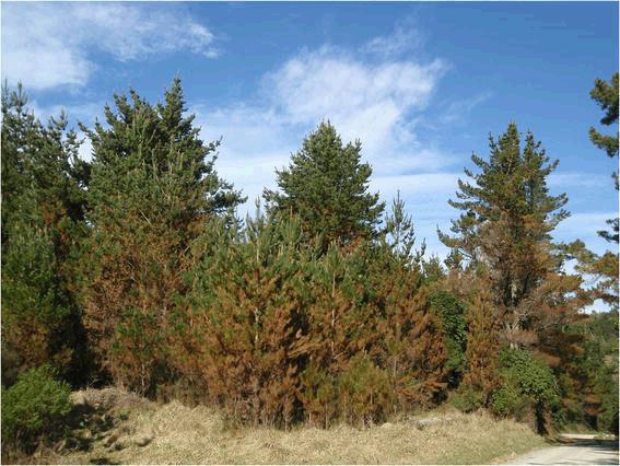 A stand of Pinus radiata trees affected by red needle cast disease. Note the reddish appearance of affected trees prior to needle drop. (Photo from New Zealand Journal of Forestry Science)