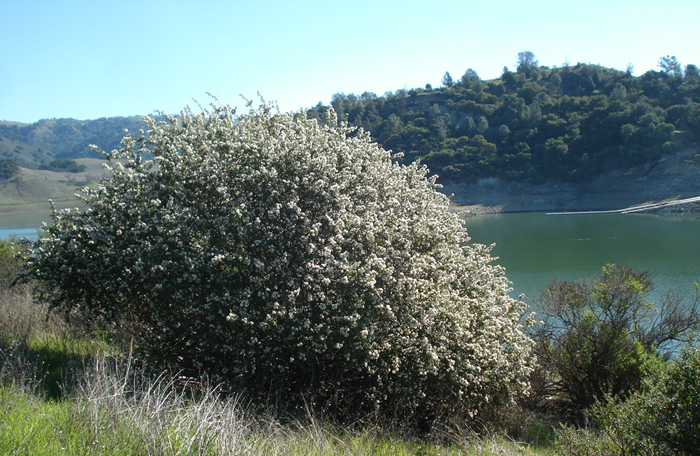 Other Phytophthora Species In California S Native Habitats