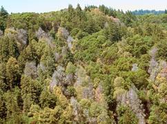 Dead oaks, Marin County. Photo: Kent Julin, Marin County