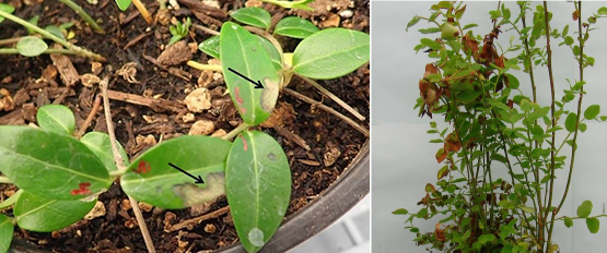 Periwinkle leaves inoculated with P. ramorum showing lesions (arrows). P. ramorum symptoms on red huckleberry