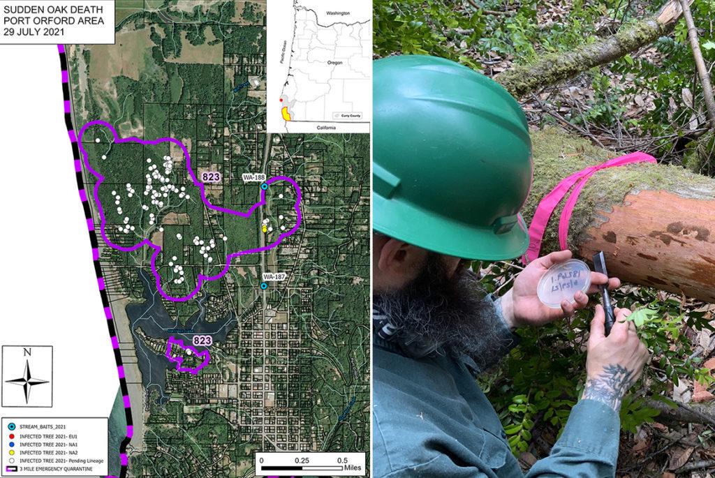 Port Orford, Oregon map and symptomatic tanoak