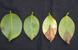 Camellia Leaves. Photo: Cheryl Blomquist, CDFA
