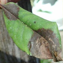 A rhododendron leaf displaying symptoms of sudden oak death.